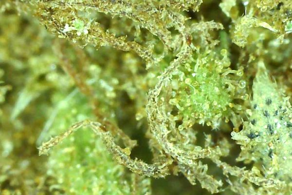 green crack up close